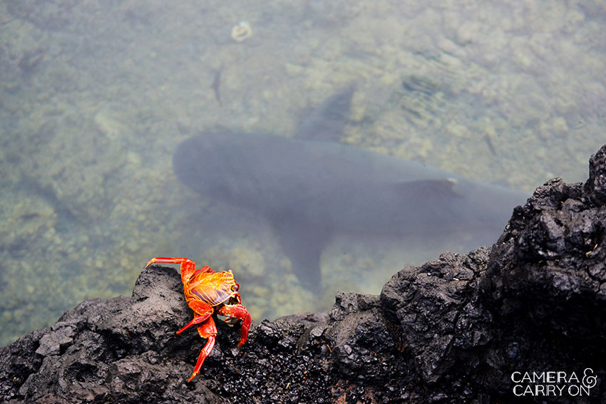 crab and whitetip reef shark -- Galapagos Wildlife and Scenery in Animated GIFs and Stunning Photos | CameraAndCarryOn.com