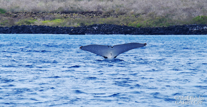 humpback whale -- Galapagos Wildlife and Scenery in Animated GIFs and Stunning Photos | CameraAndCarryOn.com