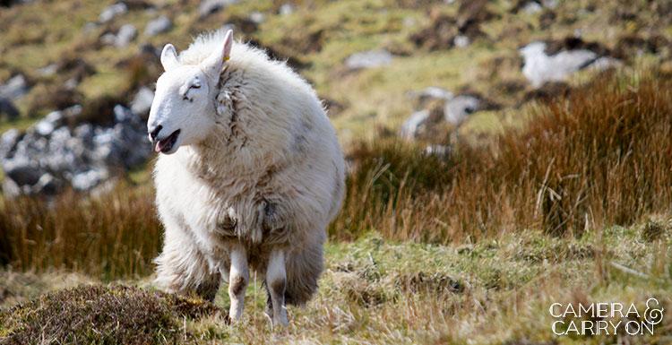 sheep_dtntireland
