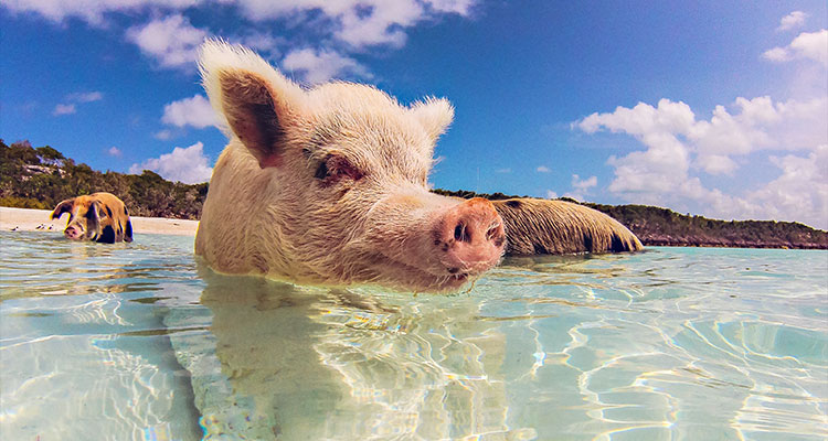 courtney-exuma_pigs1
