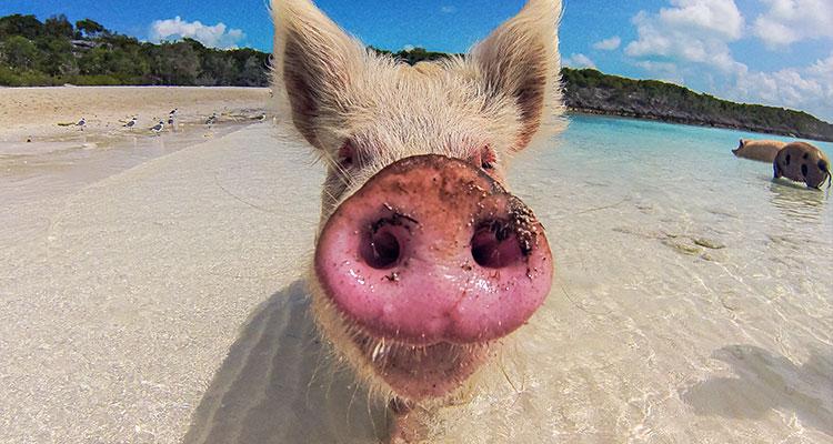 courtney-exuma_pigs2