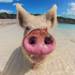This Little Piggy Went for a Swim in the Caribbean